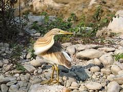 Ardeola ralloides (quarzonero ...Aldo A...) Tags: ardeolaralloides sgarzaciuffetto bird river valdenza fauna coth coth5