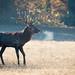 Red deer buck
