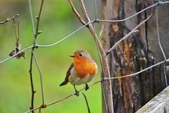 (lucamarasca1) Tags: birdwatching bird uccelli nature natura