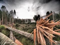 Forza distruttiva (Fernando De March) Tags: belluno devastazione cansiglio foresta alluvione ottobre 2018 schianto albero alberi