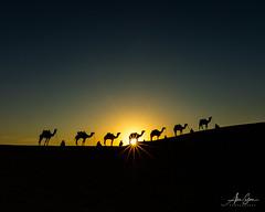 The Caravan (Thar Desert, India 2015) (Alex Stoen) Tags: 1dx alexstoen alexstoenphotography camels canon canoneos1dx ef1635f28liiusm geotagged india samsanddunes sunrise thardesert travel vacation