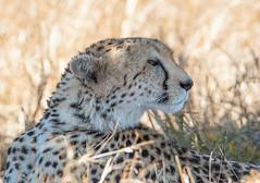 HOME ON THE RANGE (gazza294) Tags: cheetah africa masaimara kenya wildlife wildlifemagazine wildlifephotographer wildlifephotography flicker flickr flckr flkr flickrexplore explore gazza294 garymargetts nationalgeographic nature naturetrek