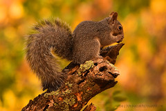 "Fox_Squirrel_02 (DonBantumPhotography.com) Tags: wildlife nature birds animals foxsquirrel ""donbantumphotographycom"" ""donbantumcom"""