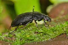 A black beetle (Arnt Kvinnesland) Tags: phosphugaatrata beetle insect hunter predator svartåtselbille småkryp insekter skog biller november høst vinter blikshavn karmøy norway