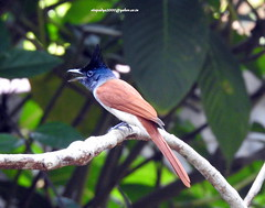 DSCN5638 Asian Paradise Flycatcher (Terpsiphone paradisi) (vlupadya) Tags: greatnature animal aves fauna indianbirds asian paradise flycatcher terpsiphone kundapura karnataka
