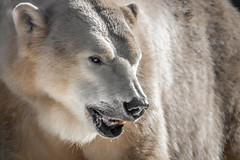 Polar Bear Chinook (helenehoffman) Tags: arctic chinook bear wildlife conservationstatusvulnerable mammal ursusmaritimus sandiegozoo ursidae polarbear animal polarbearplunge marinemammal coth5