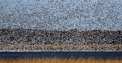 Snow Geese arriving at Bombay Hook NWR....6O3A7510A (dklaughman) Tags: snowgeese geese bombayhooknwr delaware bif