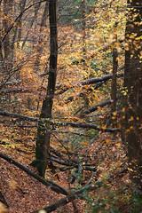Chaos im Wald - Bergisches Land (ravnhenkel) Tags: wahner heide köln troidfo troisdorf heath autumn color autumncolour colour fall indiansummer indian summer germany exploration wild forest trees yellow orange