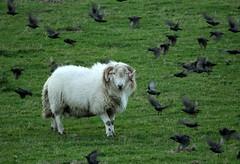One in the eye (Sue Wolfe) Tags: wales cymru meirionnydd ceredigion westwales nature autumn welshwildlifebreaks welshcoast coast birds birdwatching sea seashore sunset abertrinant tywyn wildlife