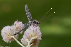 Owlfly (BenParkhurst) Tags: 2018 eurardystation ascalaphidae benparkhurst midwestwa insect animal wildflower owlfly westernaustralia wa predator ptilotusobovatus wild flower eurardy green fauna australia eurardyreserve invertebrate