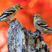 October Goldfinches