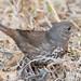 DSC_9369.jpg Fox Sparrow, UCSC Arboretum