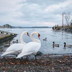 Swans (cpphotofinish) Tags: cpphotofinish swan fujifilm fujifilmnordic fujifilmxt20 norway norge birds blue water oslofjorden ducks carst1 asker akershus visitnorway