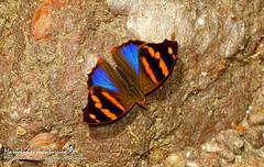 Epiphile orea orea (Hubner, 1823) (Marquinhos Aventureiro) Tags: epiphile orea nymphalidae biblidinae wildlife vida selvagem natureza floresta brasil brazil hx400 marquinhos aventureiro marquinhosaventureiro