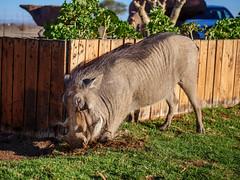 P1118561-LR (carlo) Tags: panasonic g9 dmcg9 africa africanlandscape namibia keetmanschoop warthog facocero