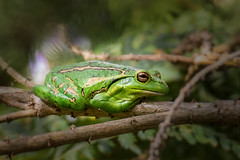 Being green (Julie Holland photography) Tags: canon7dmark2 tamron150600 frog rana kikker frosch