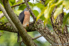 Chinese Sparrow Hawk (yowstanley) Tags: nikon nature wild park green garden d850 600mm