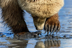Digging (Chad Dutson) Tags: alaska animal animals beach bear bears brown chaddutson clam clamming clark claw claws coast coastal dig digging grizzlies grizzly lake landscape national nature naturescape northwest ocean pacific park paw paws peninsula sea shore wild wilderness wildlife