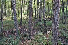 Anglų lietuvių žodynas. Žodis swamp birch reiškia pelkė beržas lietuviškai.