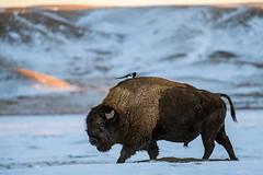 1812_1011 Bison & Magpie (wild prairie man) Tags: plainsbison buffalo bisonbison wildlife animal mammal male bull blackbilledmagpie picahudsonia winter cold snow snowy wild prairie grasslandsnationalpark saskatchewan canada copyrighted jamesrpage