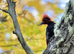 Argentina, into the forest (Vittorio Ricci (thanks for 5 millions views)) Tags: campephilusmagellanicus picchiodimagellano patagonia magellanicwoodpecker argentina