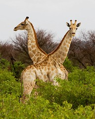Alerta... (Jhaví) Tags: etosha girafa giraffe namibia animal wildlife wild safari trip travel