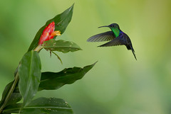 Violet-crowned Woodnymph (Chris Jimenez - Take Me To The Wild) Tags: birding woodnymph nature birds fly crowned colibries thalassinus action wild colibri workshops green hummingbirds costa hummers jimenez rica chris life violet