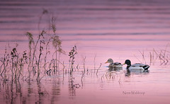Mallard and Mate (Pragmatic1111) Tags: mallard duck water float swim lake pink sunset outdoors nikon d850 bird love waves ripples lovers cute precious weed reflection silhouette