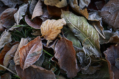 Elements' Still Life (shawn~white) Tags: 35mm canon6d autumn beauty elegance fall frost frosty gold green harmonious leaves purity tranquil weather woodland
