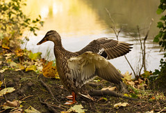 Golden Duck (Wildlife & Nature Photography) Tags: duck peakdistrict peakdistrictnationalpark nationalpark lake water autumn fall england light nature uk canon canon600d wildlife animalsinthewild animalwildlife wings mallard