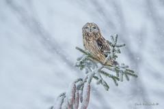 What's a little snow? (Earl Reinink) Tags: owl shortearedowl raptor predator bird animal nature snow snowing outdoors trees earlreinink oordduudha