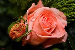 macro (archgionni) Tags: flowers rose natura nature petali petals rosa pink foglie leaves verde green bocciolo bud canon