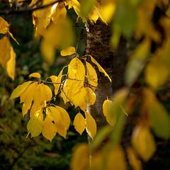 Kirschbaum im Herbst (p.schmal) Tags: panasonicgx80 hamburg farmsenberne kirschbaum herbstlaub