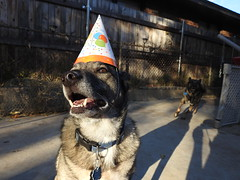 7th Birthday (Andrew Penney Photography) Tags: dogs birthday hats smile howl pups chewy pinewood belleview 7 seven animals k9 minons partying party woohoo
