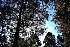 21 degrees (thomasgorman1) Tags: trees forest sunlight sun winter sky outdoors nikon az flagstaff arizona usa pine pines ponderosa nature