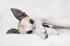 Sunday Mood (Wieselblitz) Tags: dog dogs dogphotography dogphotographer dogportrait doginthestudio pet pets petphotography petportrait petphotographer cute cuteness cosy comfortable dogwithcomfortableblanket sleepy sleeping awake wakingup sleepydog galg greyhound sighthound mongrel mutt rescuedog