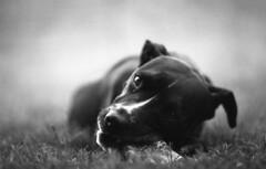 IMG014 (wolffriend333) Tags: nikkormat ilfordpanf hc110b opentopic blackandwhite film 35mm pitbull dog argo blackdog