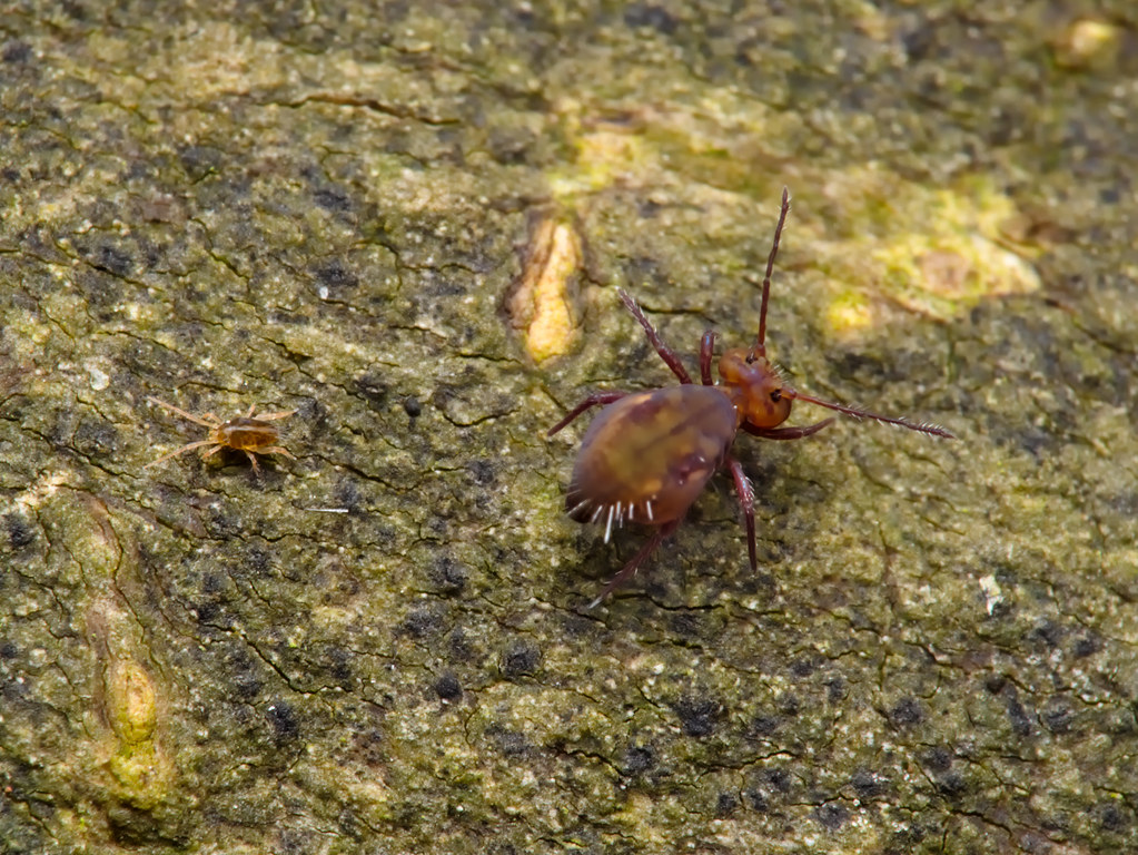 The World's most recently posted photos of springtails and