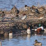 Winter Ducks thumbnail