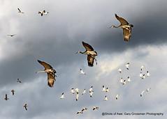 Final Approach (Gary Grossman) Tags: cranes crane sandhill geese snow canada species birds bif wildlife northwest sauvie island fall autumn clouds nature garygrossmanphotography pacificflyway pacificnorthwest wildlifephotography sandhillcranes snowgeese canadageese