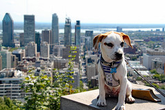 Doggie Day of Summer in Montreal (Can Pac Swire) Tags: aimg4864 montreal montréal quebec québec canada canadian dog pup puppy chien montroyal skyline city downtown centre center centreville hond hondje cute adorable