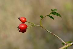 rosehip (eva.pave) Tags: hip rosehip wildrose plant nature dof bokeh macro autumn red