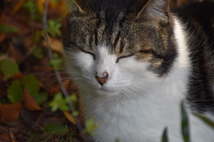 Zzzzzz... (Mikon Walters) Tags: uk britain england cat kitty kitten pussy cute fluffy furry cuddly animal pet creature garden nikon d5600 nikkor 18300mm f3563 photography macro sleeping sleepy eyes closed nose whiskers close up focus sharp zoom lens black brown white