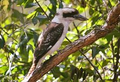 Laughing Kookaburra (Dacelo novaeguineae) (Urban and Nature OZ) Tags: kookaburra bird birds kookaburras dacelonovaeguineae australianbirds songbird brisbane kingfisher ausbirds