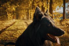 Totoro (Jos Mecklenfeld) Tags: totoro dutchshepherd dutchshepherddog holländischerschäferhund hollandseherder hollandseherdershond shepherd shepherddog herder herdershond schäferhund dog hund hond forest bos wald nature natur natuur hiking wandern wandelen autumn fall herbst herfst sellingen westerwolde groningen netherlands niederlande nederland sonya6000 sonyilce6000 sony30mmf35macro sel30m35 nl