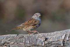 08012019-gDSC_7556 (Eyas Awad) Tags: passerascopaiola prunellamodularis eyasawad nikond800 nikond4 nikond500 sigma500f45 nikonafs300mmf4 tamron70200mmf28 nikkor200400mmf4 bird birds birdwatching wildlife nature
