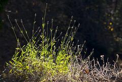 Lavande de fin de saison (images1219) Tags: lavande fleurs