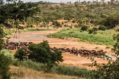 Cape buffalo watering, Hluhluwe National Park, South Africa II (Gerry Lynch/林奇格里) Tags: southafrica buffalo hluhluwe kwazulunatal safari