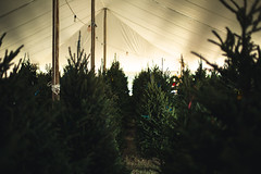Looking for the right one. (3rd-Rate Photography) Tags: christmastree tree holiday tent christmas xmas canon 50mm 5dmarkiii jacksonville florida 3rdratephotography earlware 365