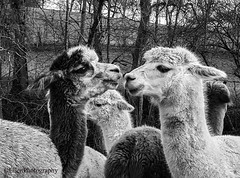 I love you (Fay2603) Tags: alpaca blackwhite blackandwhite animals alpacas two trees love amore amour
